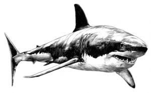 Skizze von einem weißen Hai. Der einzige aller Fische, welcher nicht in Aquarien gehalten werden kann.